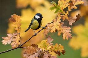 ветка, птица, дуб, синица, фон, листья