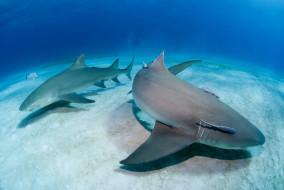 океан, Shark, акула, вода, море, дно, рыба, хищник