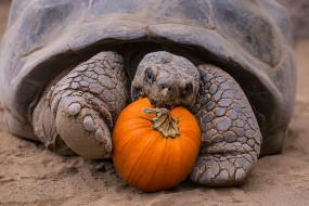 животные, Черепахи, панцирь, тыква, завтрак, пресмыкающиеся, Черепаха, ест, хордовые