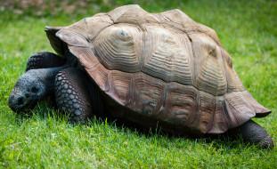 животные, Черепахи, пресмыкающиеся, Черепаха, ползёт, панцирь, хордовые