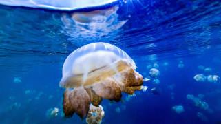 подводный, Медузы, мир, вода, океан, море