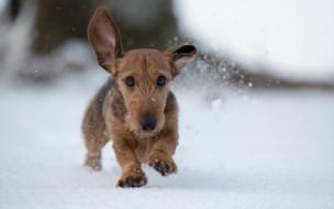 животные, собаки, щенок, уши, снег