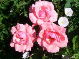 цветы, розы, трио
