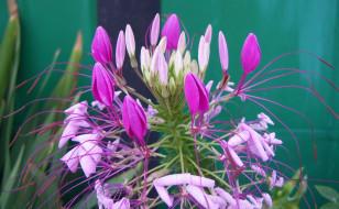 цветы, антуриум , цветок фламинго, фон