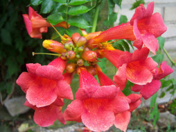цветы, кампсис , текома, оранжевые