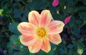 цветы, георгины, георгина