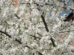 цветы, цветущие деревья ,  кустарники, ветки
