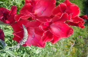 цветы, гладиолусы, красный