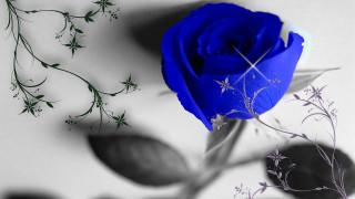 роза, цветок, синий