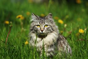 одуванчики, травка, кот, глаза