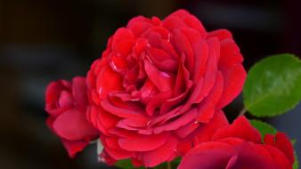 роза, макро, алая роза