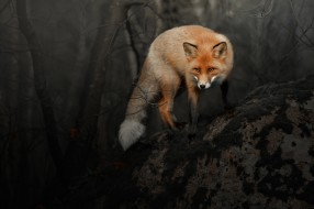рыжая, лиса, взглямный фон, лисица, лес