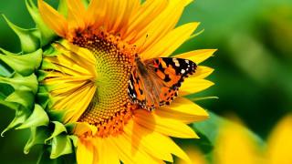 бабочка, Подсолнух