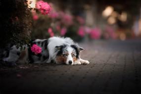собака, цветы, взгляд, боке, Австралийская овчарка, Аусси