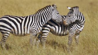 пара, зебры, трава, саванна