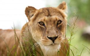 трава, львица