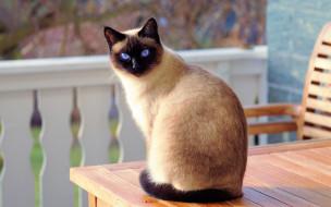 взгляд, усы, кошка, стол, мордочка, уши, голубые глаза, сидит