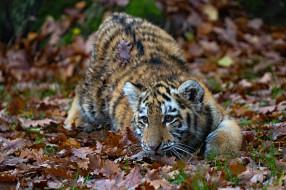 тигрёнок, тигр, листья, осень