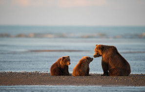 медвежата, Аляска, медведи, медведица, детёныши, Залив Кука, Национальный парк и заповедник Лейк-Кларк