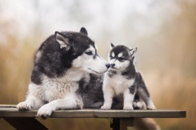 скамейка, взгляд, собаки, поза, фон, две, собака, лапы, малыш, щенок, лежит, доска, серые, светлый фон, детеныш