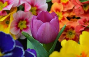 цветы, разные вместе, весна, тюльпан, flowers, spring, tulip, примула, purple, фиолетовый, primrose