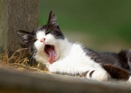 зевок, зевает, котёнок
