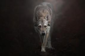 животные, волки,  койоты,  шакалы, взгляд, фон, Чехословацкий, влчак, Чехословацкая, волчья, собака