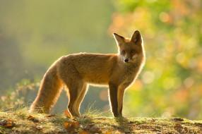 фон, блики, зеленый, поза, силуэт, лапы, боке, лисица, рыжая, хвост, красавица, лиса, природа, свет, листья