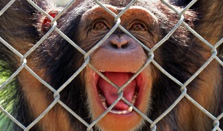 решетка, обезьяна, голова, шимпанзе
