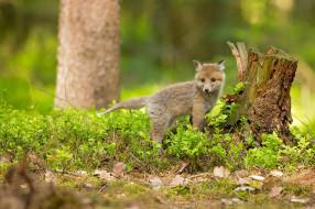 поза, природа, листья, взгляд, трава, лес, зелень, лисица, лисенок, лисёнок, лиса, малыш, маленький, весна, пень