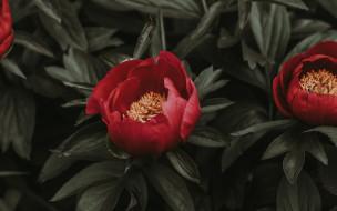 цветы, пионы, древовидный
