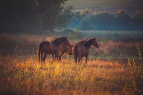 троица, гнедые, три коня, три, трио, тройка, пара, пастбище, лошади, кони, природа, осень, поле