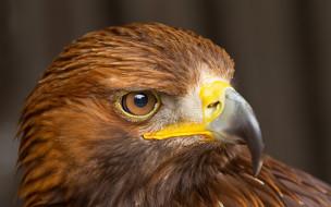 голова, клюв, орел