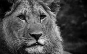 черно-белый, голова, лев