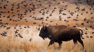 бизон, Остров Антелоп, Национальный Парк, США, Юта, птицы