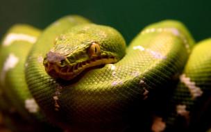 животные, змеи,  питоны,  кобры, питон, змея, зеленый