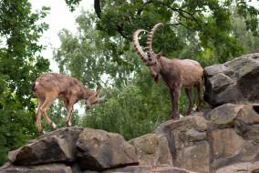 сибирский горный козёл, животные, овцы,  бараны, сибирский, козёл, горный
