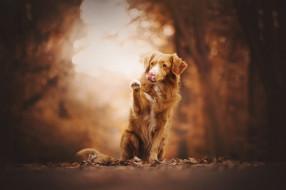животные, собаки, листья, взгляд, деревья, собака, лапа, фон, парк, ретривер, боке, сидит, рыжая, поза, природа, язык, осень