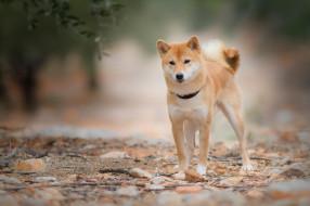 животные, собаки, взгляд, листья, природа, камни, собака, ветка, рыжий, ошейник, молодой, пёсик, сиба-ину