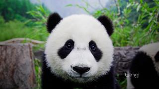 животные, панды, взгляд, панда