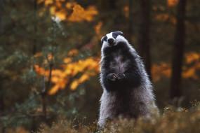 взгляд, барсук, стойка, фон, поза, лес, осень