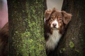 животные, собаки, аусси, собака, стволы, деревья