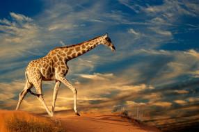 трава, небо, песок, солнце, облака, природа, жираф