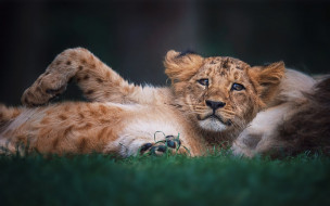 поза, взгляд, фон, лев, малыш, лежит, львенок, львёнок