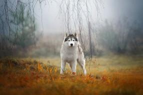 животные, собаки, сибирский, хаски, собака, туман, природа, ветки, взгляд, трава, осень