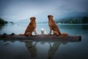 животные, собаки, ретриверы, три, троица, сидят, поселение, плавание, водоем, друзья, отрревно, озеро, бман, купание, берег, дерево, туажение, поза, природа, горы, пейзаж, небо, взгляд