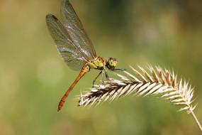 животные, стрекозы, травинка, насекомое, стрекоза, фон