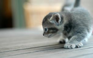 животные, коты, котенок, серый