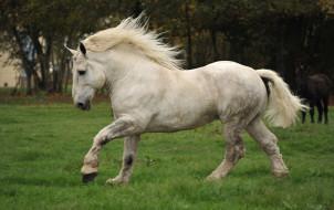 животные, лошади, мощь, непарнокопытные, белая, сила, лошадь, percheron