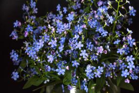 цветы, незабудки, голубой, макро